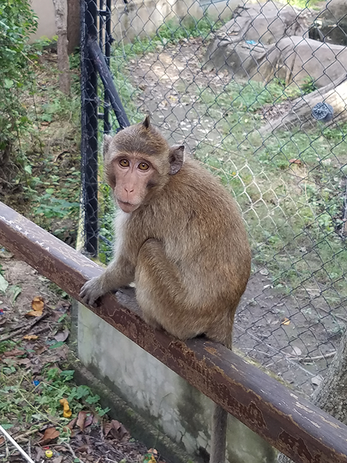 Monkey in Cambodia wildlife rescue center